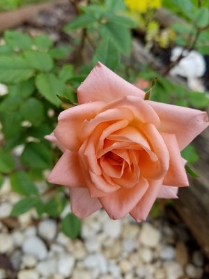 Texas Rose Fragrance Oil